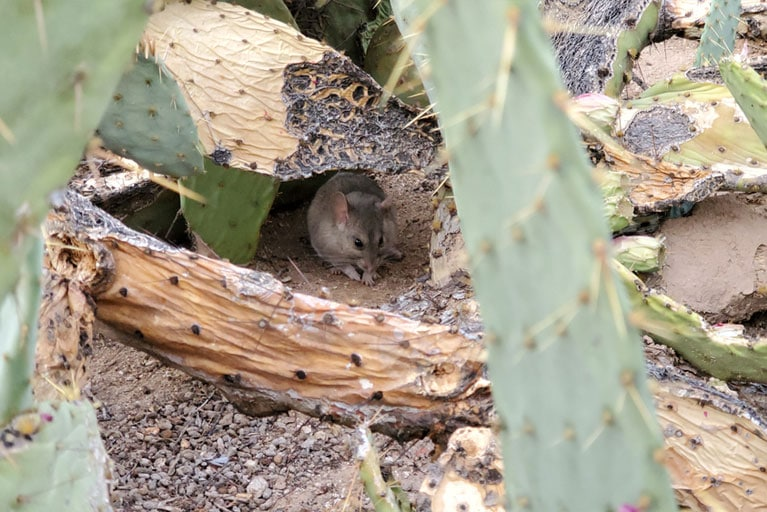 Pack Rat Removal In Tucson