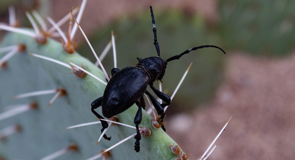 Which Insects Might Harm The Cacti On My Landscape?