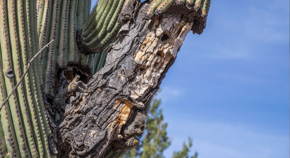 Are Cacti Susceptible To Diseases?